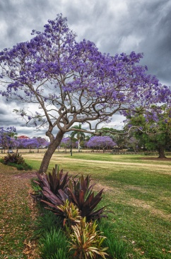 Jacarandas at New Farm Park